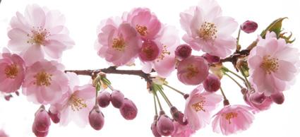 April 1 - 29: Brooklyn Botanic Garden Celebrates Hanami, the Cherry Blossom Season